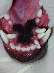Hyperdontia Supernumerary Tooth Dec 2008-03